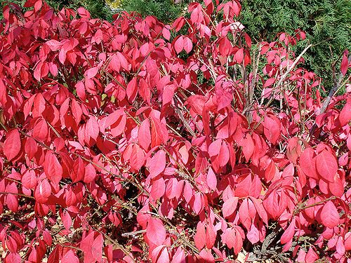 Invasive Burning Bush