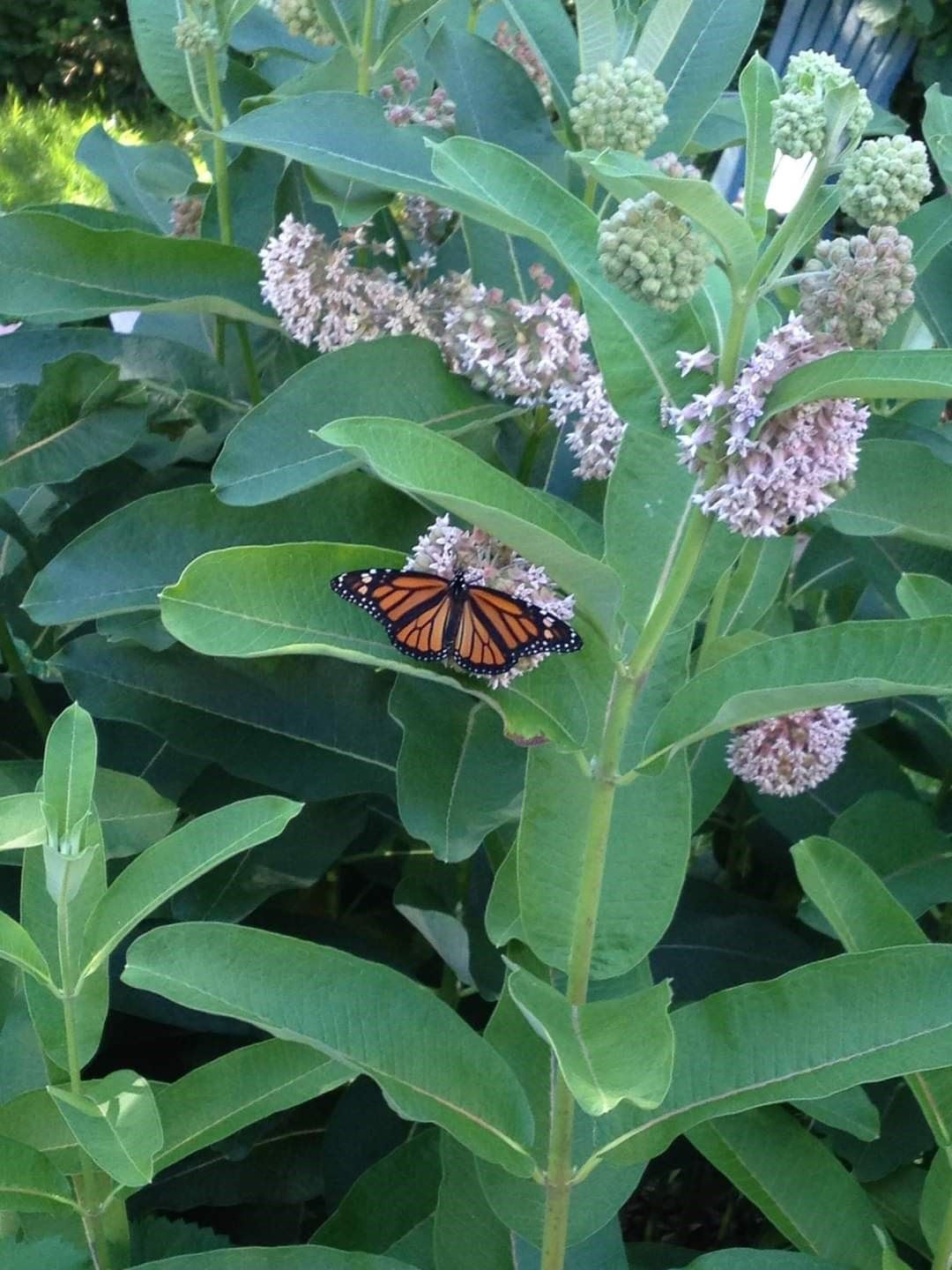 Swamp Milkweed - Photo by Jenny Primeau