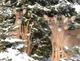 Group of deer.jpg